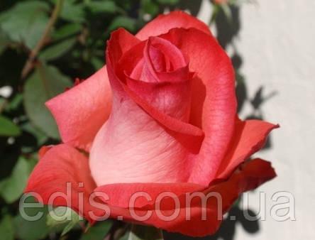 Троянда Рафаелла (Raffaella) чайно-гібридна, фото 2