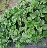 Выращивание клубники с использованием агроволокна