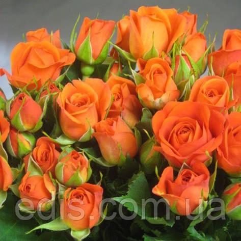 Роза спрей Алегрия ( Alegria ), фото 2