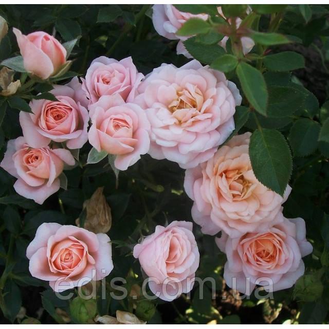 Роза Спрей Клементина, мелкоцветковая, мультифлора