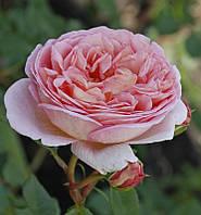 Роза Нежность (Subtlety) английская флорибунда