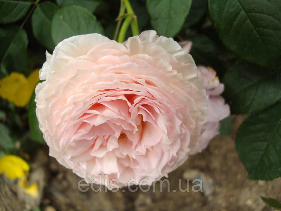 Троянда Містер Гамільтон (Mister Hamilton) англійська флорібунда
