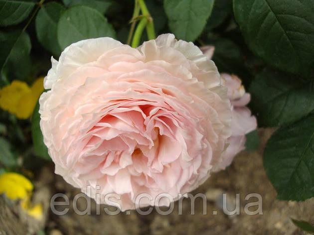 Троянда Містер Гамільтон (Mister Hamilton) англійська флорібунда, фото 2