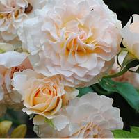 Роза английская Marjorie Marshall (Excalibur) распродажа