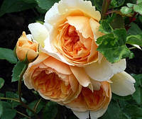 Роза Сэр Ланселот (Sir Lancelot) английская флорибунда
