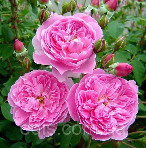 Троянда Мерлін (Merlin) англійська флорібунда