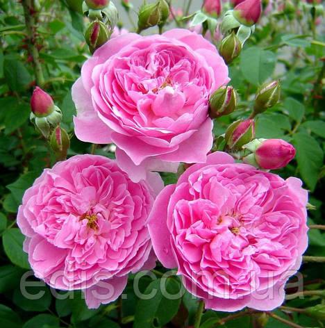Троянда Мерлін (Merlin) англійська флорібунда, фото 2
