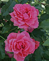 Роза плетистая английская Sweet Kiss (Сладкий поцелуй)