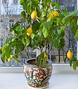 Лимон Комнатный плодовый