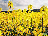 Семена рапса озимого ЕС Гидромель, фото 1