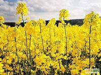 Семена рапса озимого ЕС Алонсо , фото 1