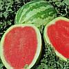 ЛОНЦИ F1 - семена арбуза, 1 000 семян, Lark Seed