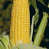 УОКЕР F1 - семена кукурузы сладкой, 2 500 семян, Lark Seed