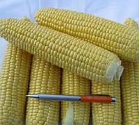 ШАМО F1 - семена кукурузы суперсладкой, 2 500 семян, Lark Seed