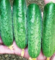 СТИНГЕР F1-  семена огурца партенокарпического, 1 000 семян, Lark Seed, фото 1