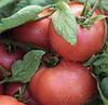 ПИНК СВИНТЕС F1 - семена томата детерминантного, 500 семян, Lark Seed