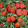 ПЛАТОН F1 - семена томата детерминантного, 10 000 семян, Lark Seed