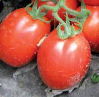 РИО ГРАНДЕ - семена томата детерминантного, 500 семян, Lark Seed, фото 1