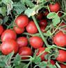 ШКІПЕР F1 - насіння томату детермінантного, 1 000 насінин, Lark Seed
