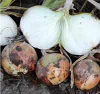 ПАНЧЕР F1 - семена лука репчатого, 100 000 семян, Lark Seed, фото 1