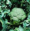 АПОЛЕНА F1 - семена капусты брокколи, 2 500 семян, Moravoseed