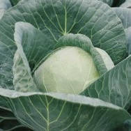 ЛИБРЕТО F1 - семена капусты белокочанной, 2 500 семян, Moravoseed, фото 1