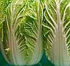 ФОРКО F1 - семена капусты пекинской, 2 500 семян, Moravoseed