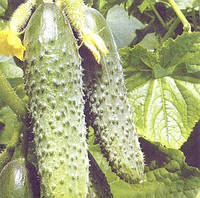 РЕГИЯ F1 - семена огурца пчелоопыляемого, 50 грамм, Moravoseed, фото 1