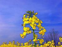 Семена рапса озимого NK PETROL, фото 1