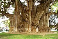Это дерево растет в Мексика в городе Санта-Мария-дель-Туле. Диаметр ствола составляет 10 метров , окружность 54 м!
