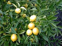 Лимон Мейера (Citrus × meyeri) Комнатный