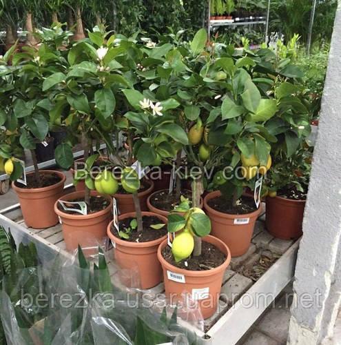 Лимон цитрусовое растение