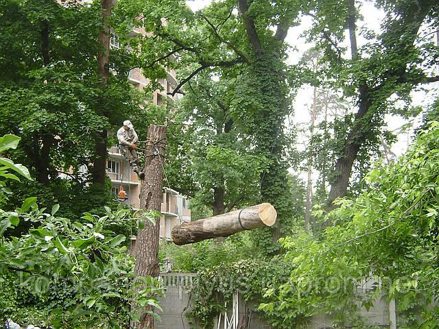 Быстрое и аккуратное удаление деревьев арбористами.