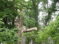 Быстрое и аккуратное удаление деревьев арбористами., фото 1