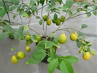 Лимон Новогрузинский Комнатный
