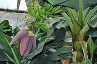 Банан Комнатный плодовый