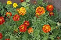 Семена чернобривцев (бархатцев), 1000 семян