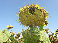 Семена подсолнечника евролайтинг Прими