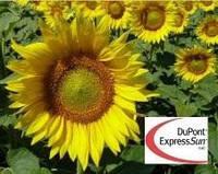 ПОДСОЛНЕЧНИК PIONEER П64ГЕ01 /P64HE01 (новий) Express Sun TM RM 39 USA(США), фото 1