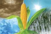 Семена кукурузы «СИНГЕНТА» SY_TOPMAN СИ ТОПМЕН ФАО 250 STANDARD