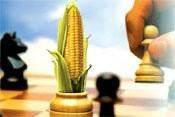 Семена кукурузы «СИНГЕНТА» SY_VERALIA СИ ВЕРАЛІЯ ФАО 260 STANDARD, фото 1