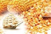 Семена кукурузы «СИНГЕНТА» NK_KANSAS НК КАНЗАС ФАО 290 STANDARD