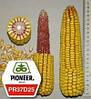 Семена кукурузы  ПИОНЕР PIONEER ПР37Д25 / PR37D25 ФАО 390