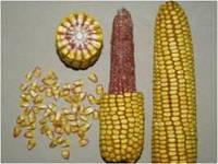 Семена кукурузы  ПИОНЕР PIONEER  P8000 / П8000 новий ФАО 230 , фото 1