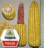 Семена кукурузы ПИОНЕР PIONEER П8529 / P8529 (новий) ФАО 280 USA