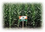 Семена кукурузы ES SIGMA \ ЕС СІГМА ФАО 280 EVRALIS SIMENCES/ЕВРАЛИС СИМЕНС, фото 1