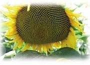Семена подсолнечника ES KARAMBA \ ЕС КАРАМБА EURALIS SIMENCES/ЕВРАЛИС СИМЕНС, фото 1