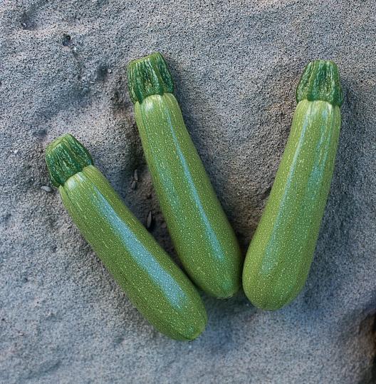 Ранний высокоурожайный гибрид кабачка для теплицы Мостра F1 Clause, элитные профсемена  500 семян