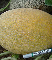 МАЕ F1 - семена дыни, CLAUSE