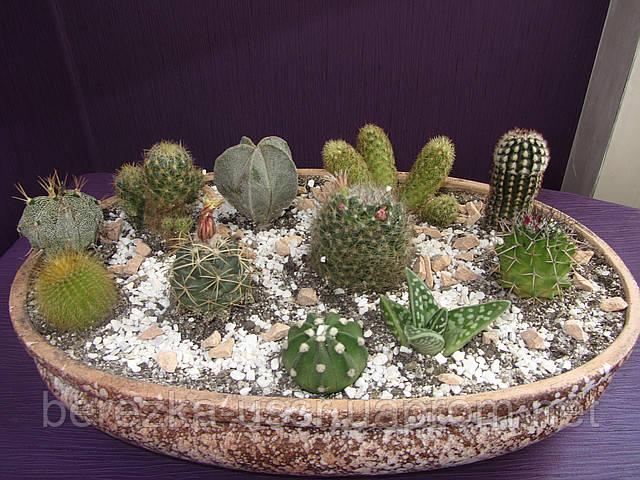 Композиция кактусов суккулентов